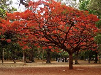 The Laburnum and the Gulmohar Tree